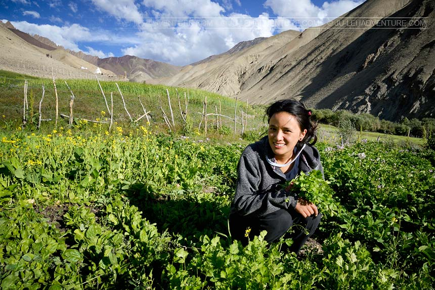 Girl working in the fields, in Hemis National Park, Ladakh