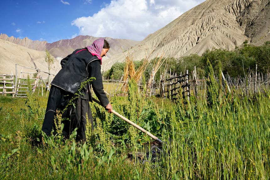 Woman working in the fields, in Hemis National Park, Ladakh